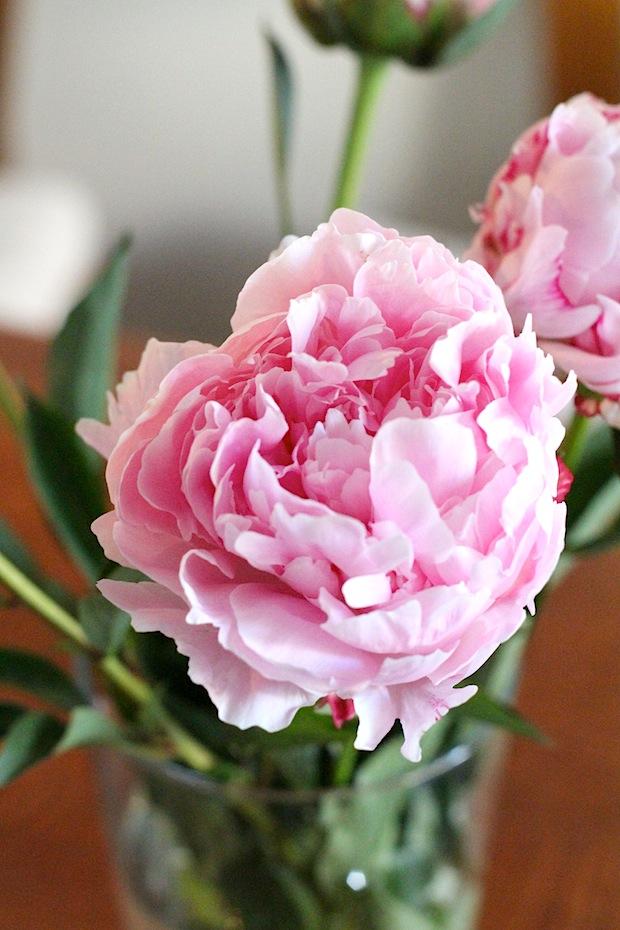 Photo pivoines roses