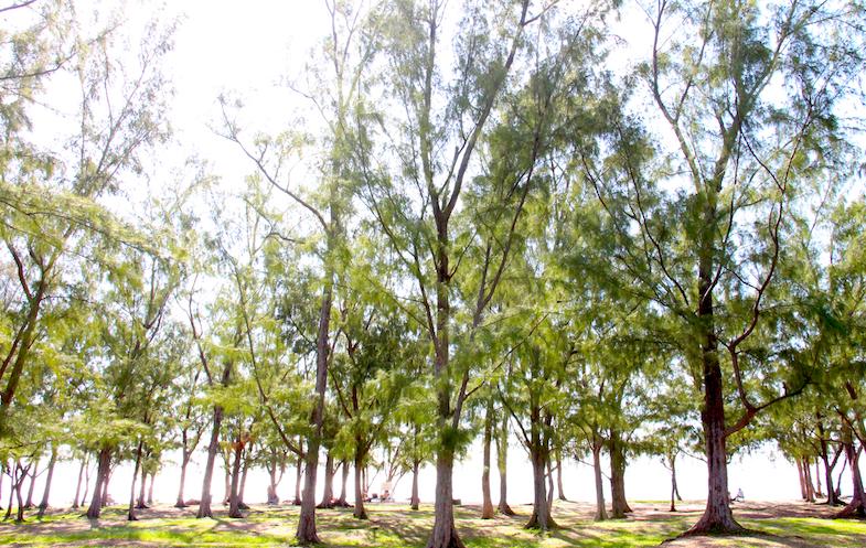 Arbres filaos plage Ile Maurice