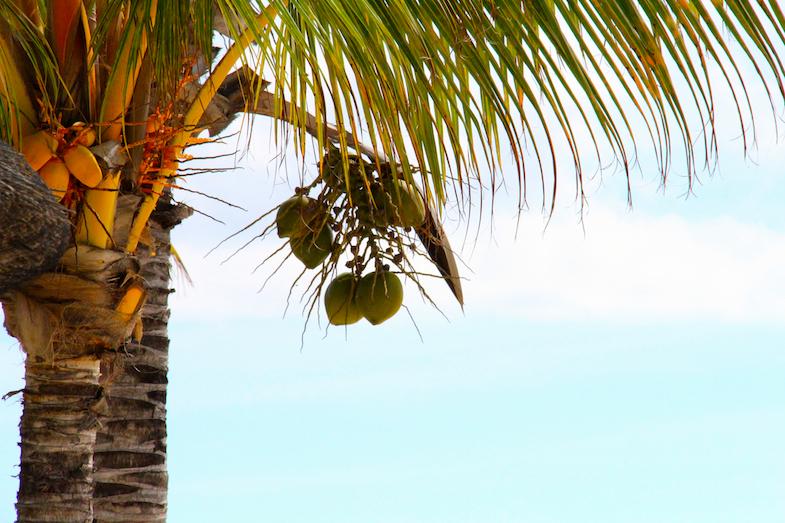 Cocotiers Ile Maurice
