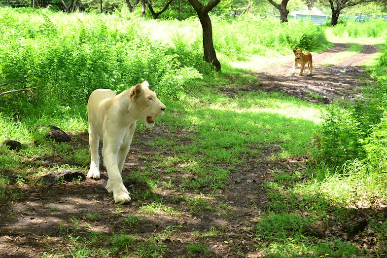 Marche avec les lions Casela-1