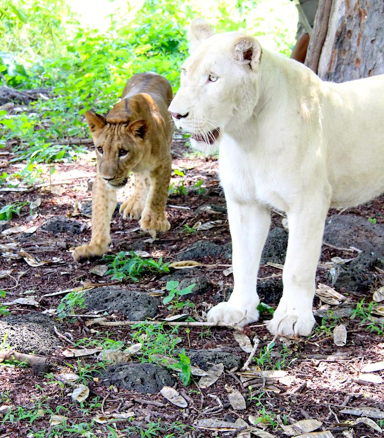 Marche avec les lions Casela-10