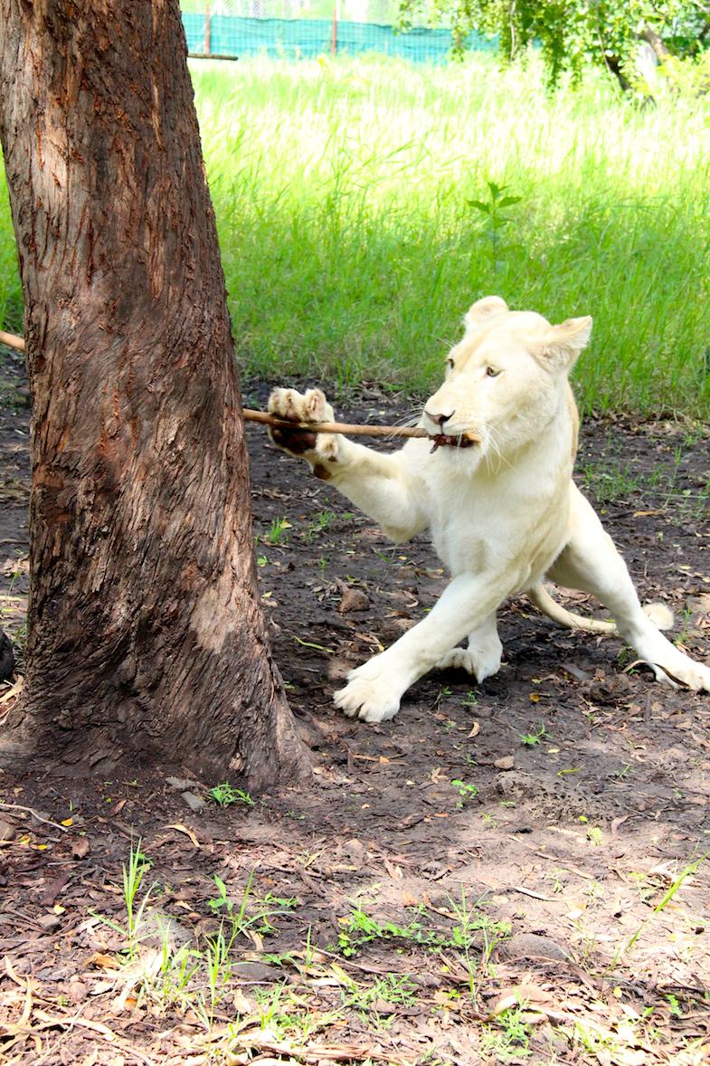 Marche avec les lions Casela-11
