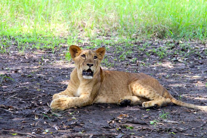 Marche avec les lions Casela-12