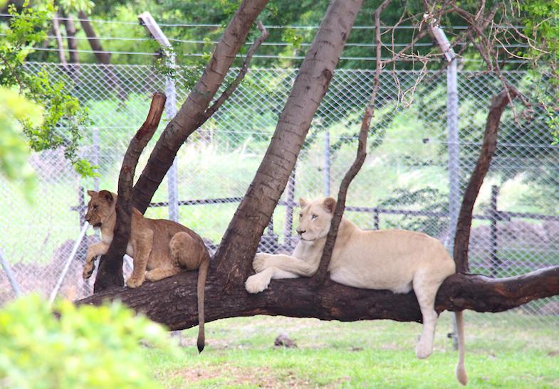 Marche avec les lions Casela-15