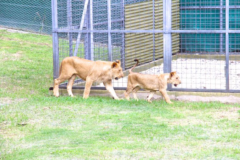 Marche avec les lions Casela-16