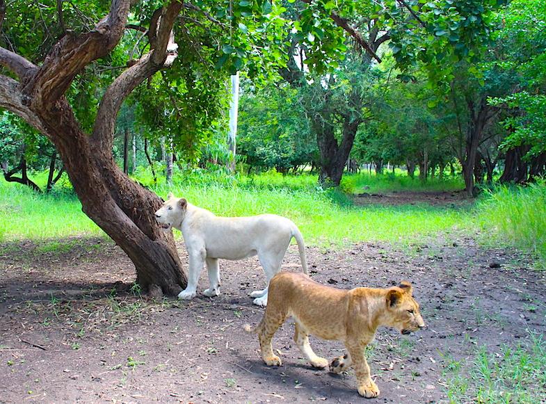 Marche avec les lions Casela-2