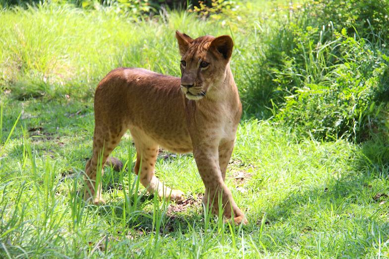 Marche avec les lions Casela-7