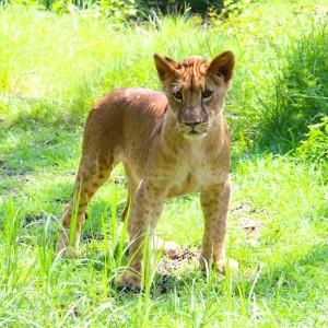 La marche avec les lions au Casela Nature & Leisure Park