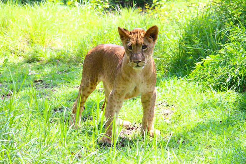 Marche avec les lions Casela-8