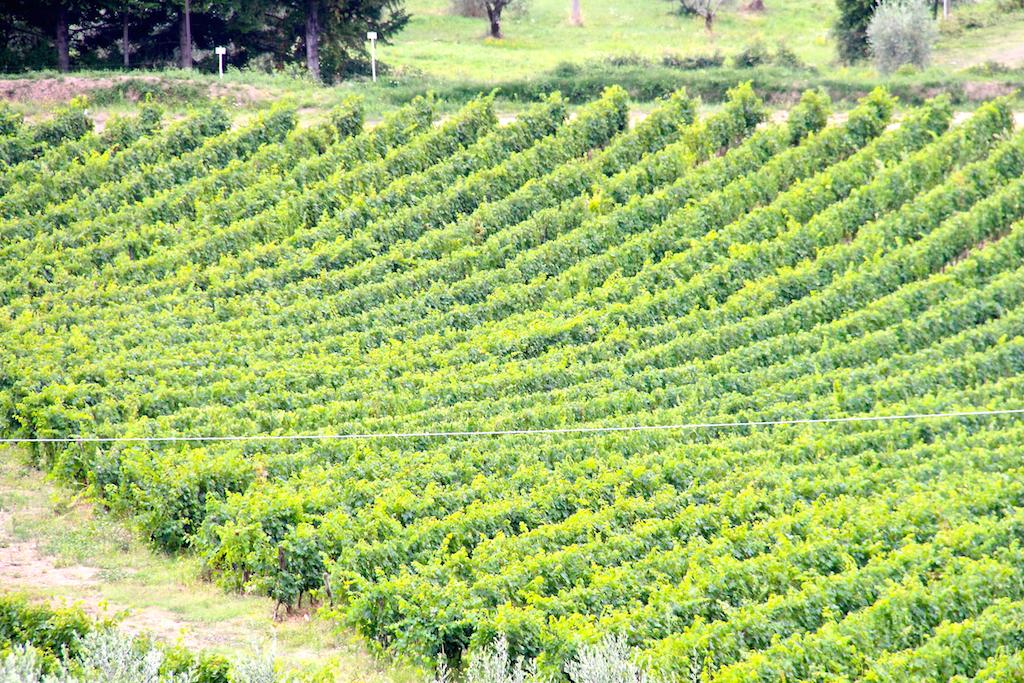 Vignes Chianti Toscane Italie 1