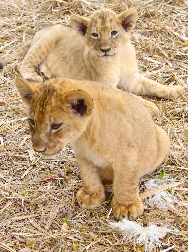 Photo du moi lionceau cub safari adventures mauritius
