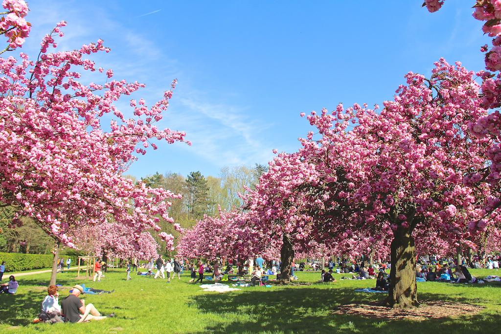 Hanami cerisiers Parc de Sceaux-1