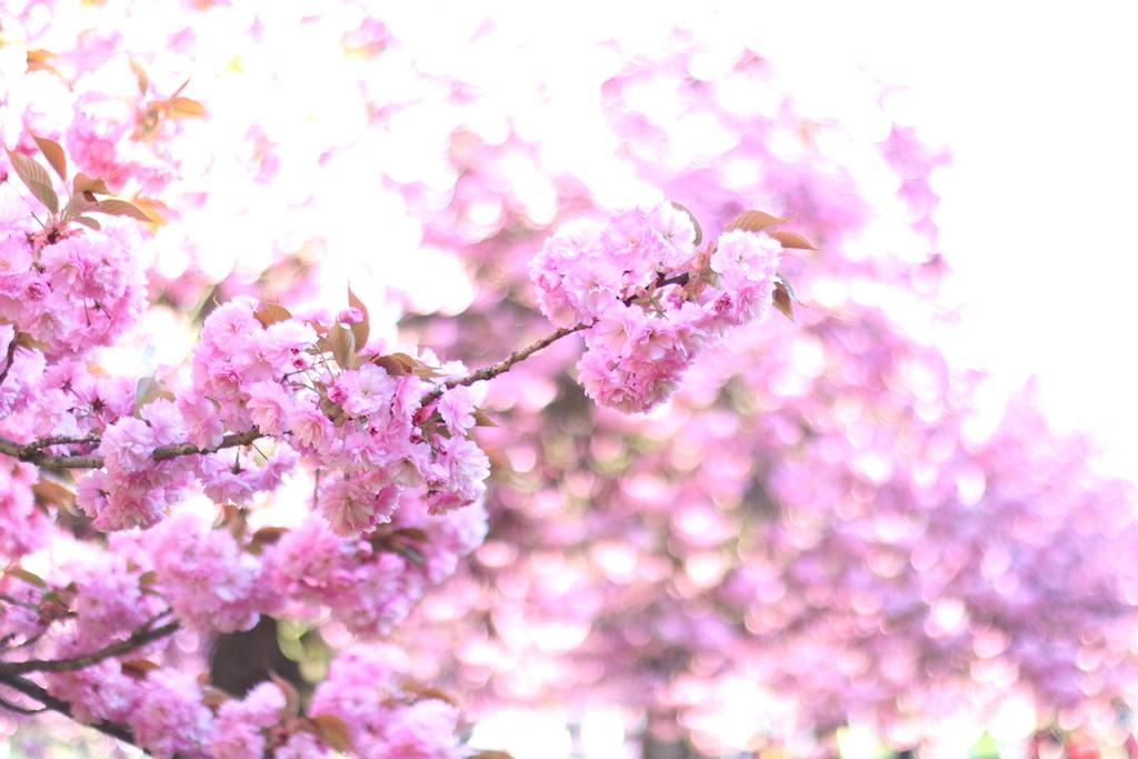 Hanami cerisiers Parc de Sceaux-10