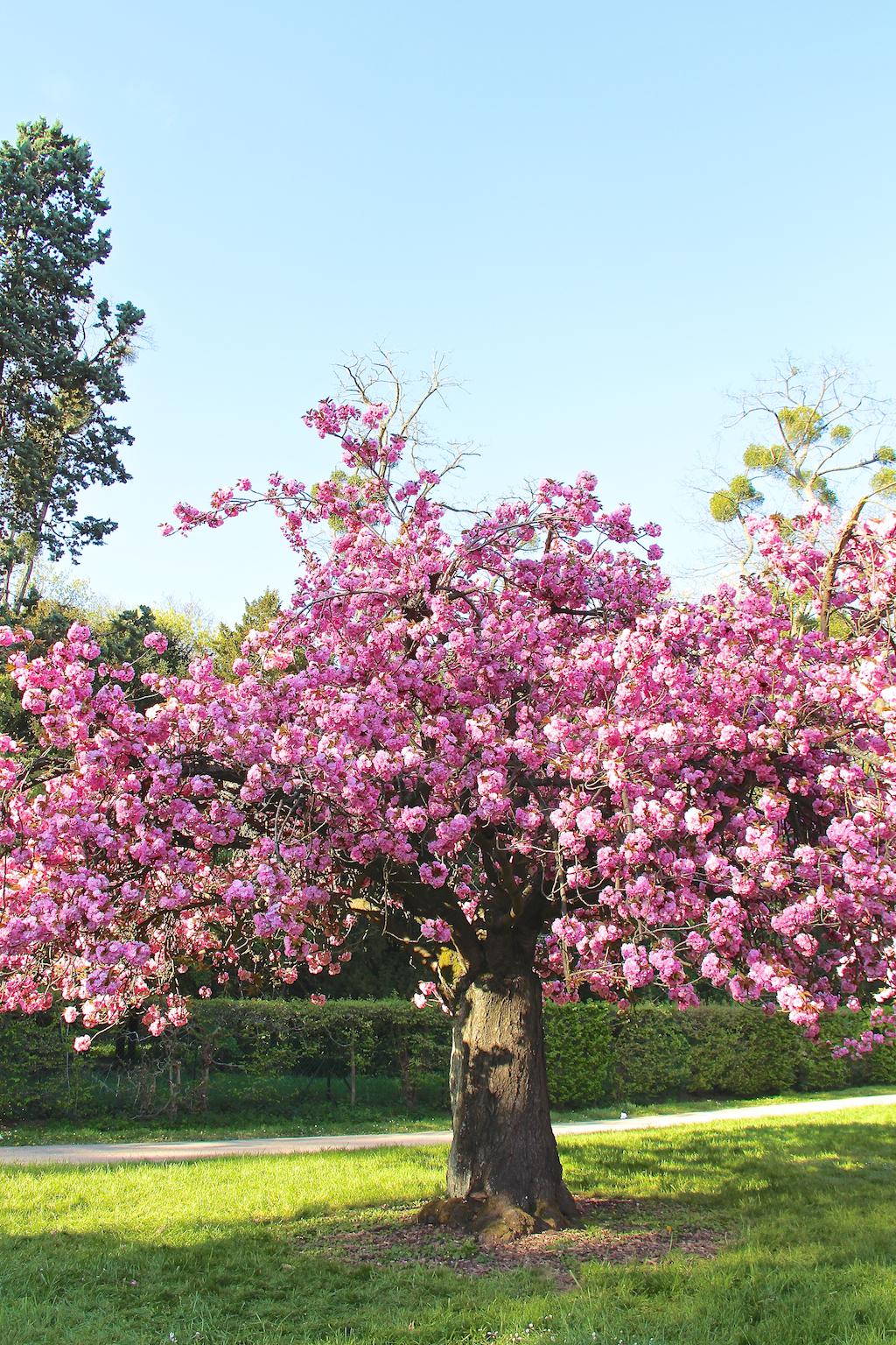 Hanami cerisiers Parc de Sceaux-11