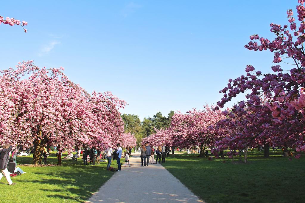 Hanami cerisiers Parc de Sceaux-12