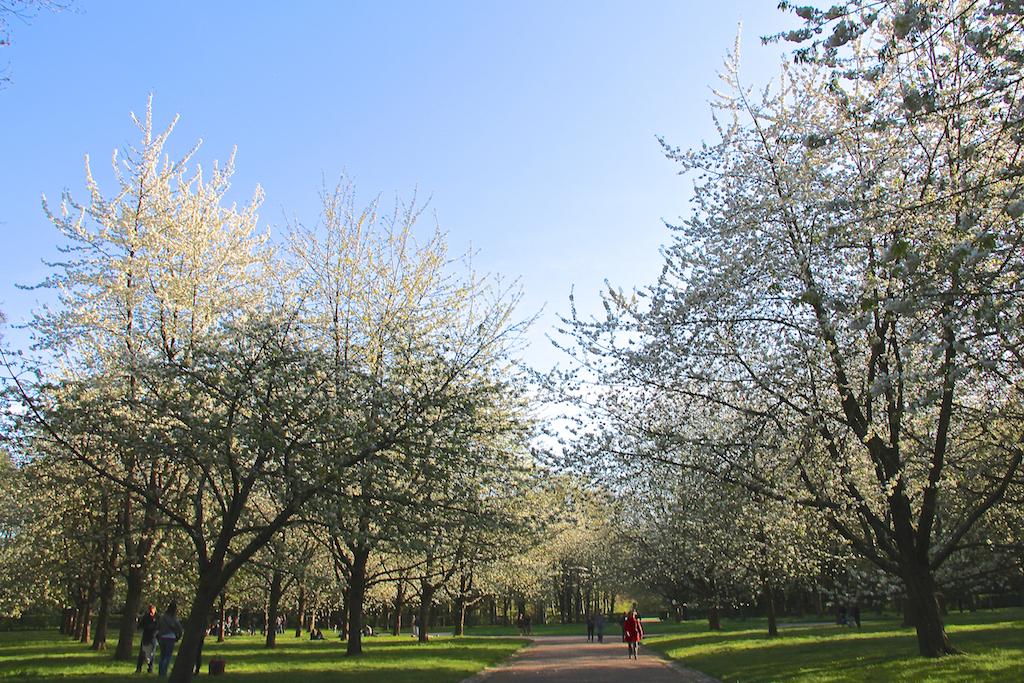 Hanami cerisiers Parc de Sceaux-13
