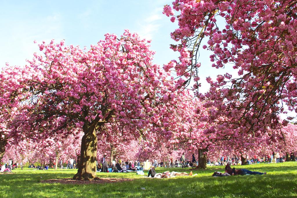 Hanami cerisiers Parc de Sceaux-2