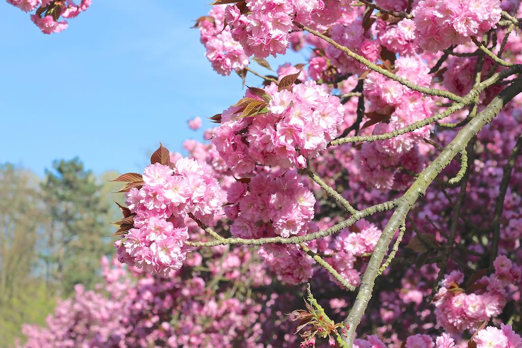Hanami cerisiers Parc de Sceaux-3