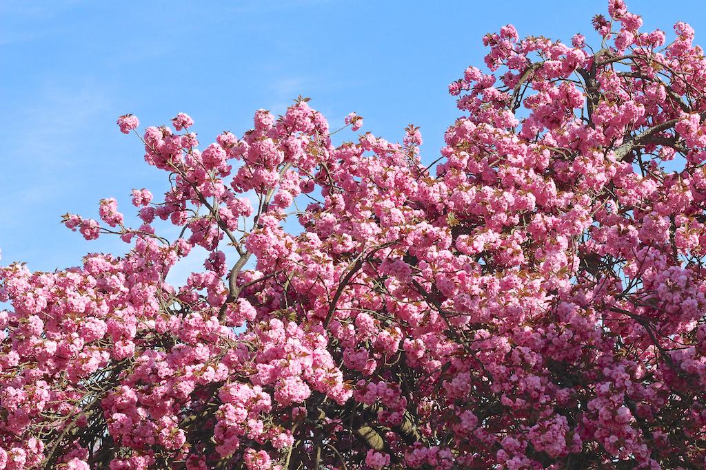 Hanami cerisiers Parc de Sceaux-4