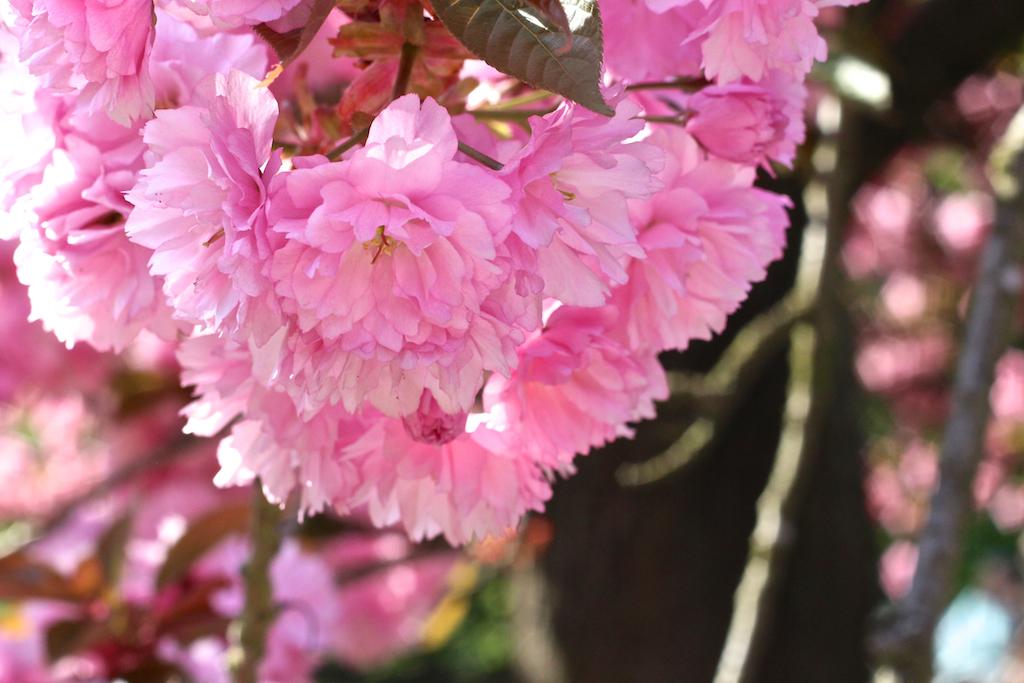 Hanami cerisiers Parc de Sceaux-5