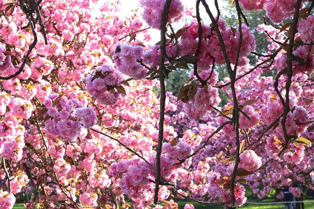 Hanami cerisiers Parc de Sceaux-6