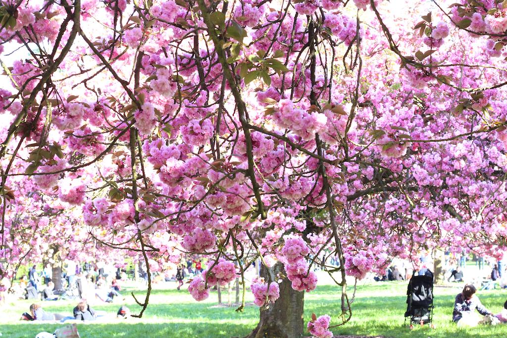 Hanami cerisiers Parc de Sceaux-7