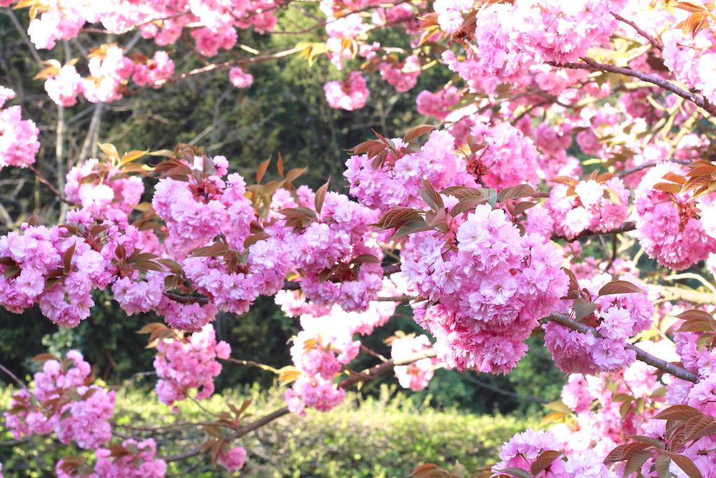 Hanami cerisiers Parc de Sceaux-8