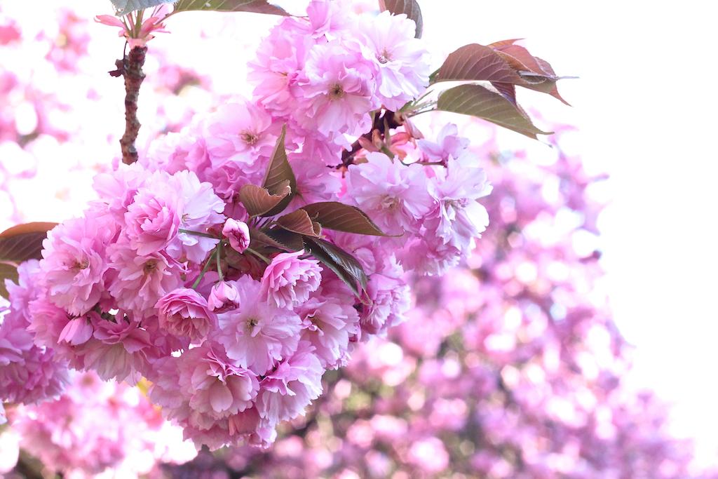 Hanami cerisiers Parc de Sceaux-9
