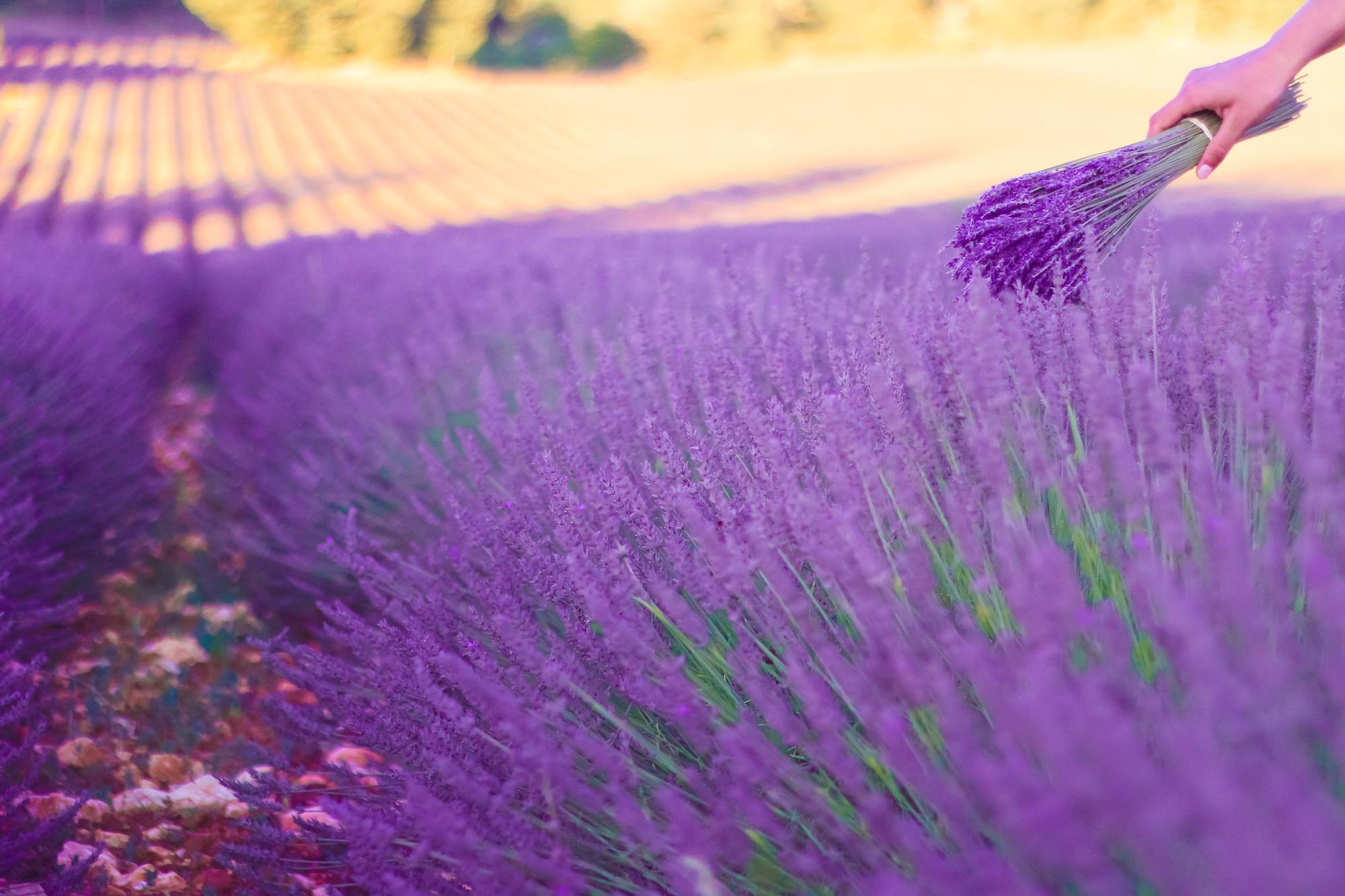 Lavender -11