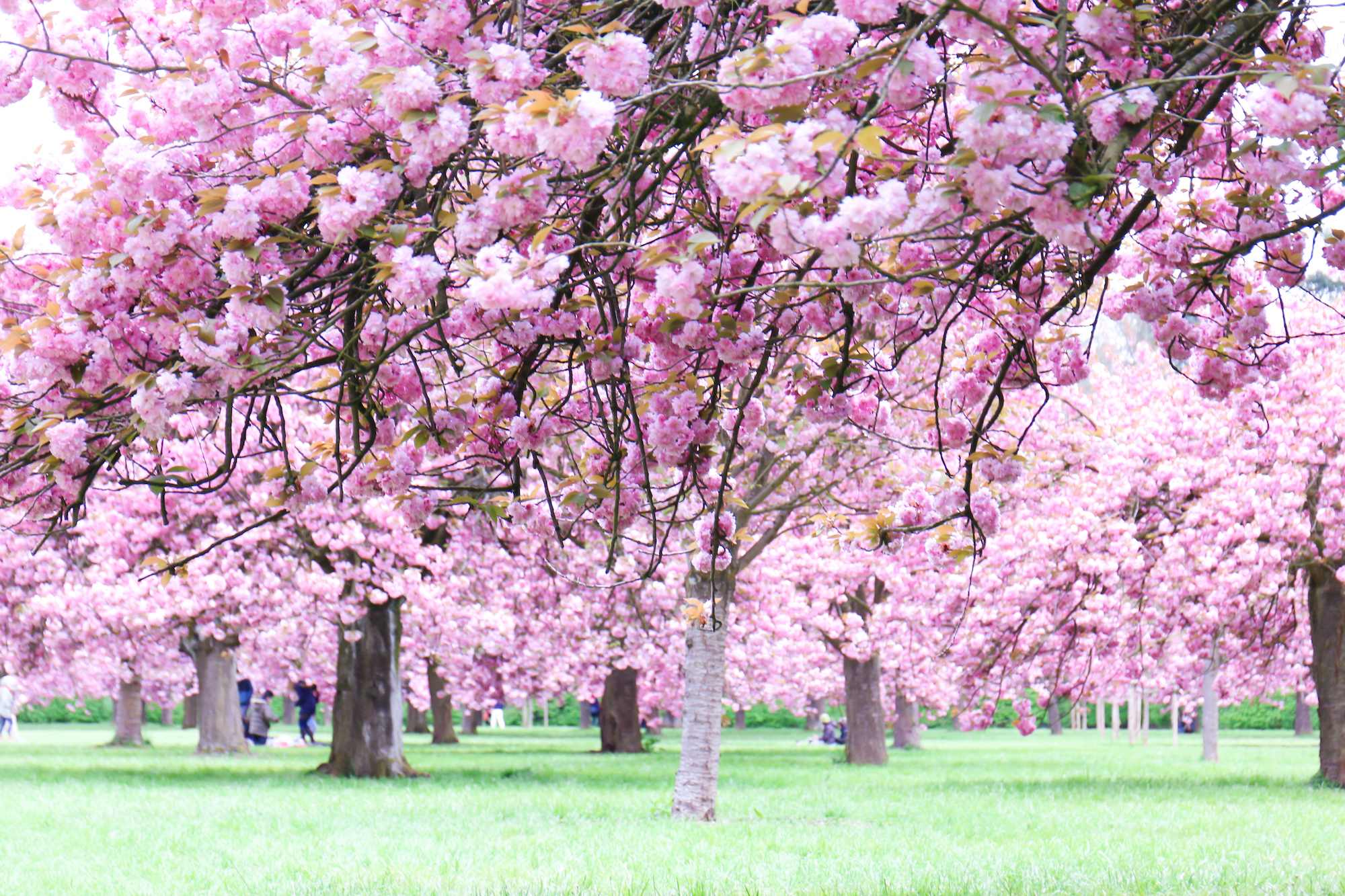 Cherry blossoms cerisiers Paris-13
